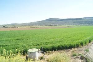 Plantación de trigo en Lopera.