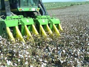 Campos de algodón