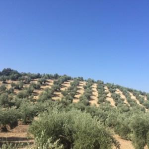 Campos de olivar.