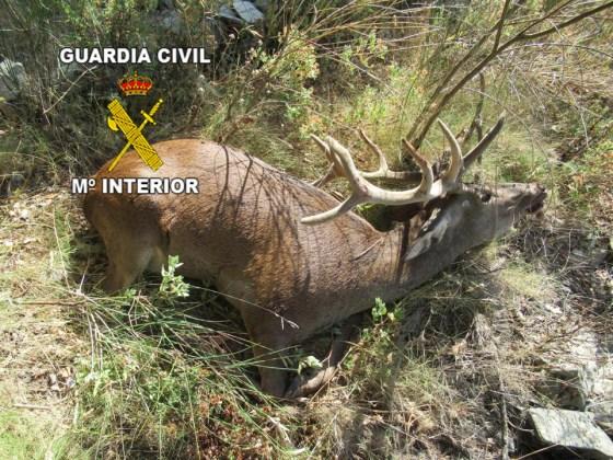 Ciervo abatido en Los Villares