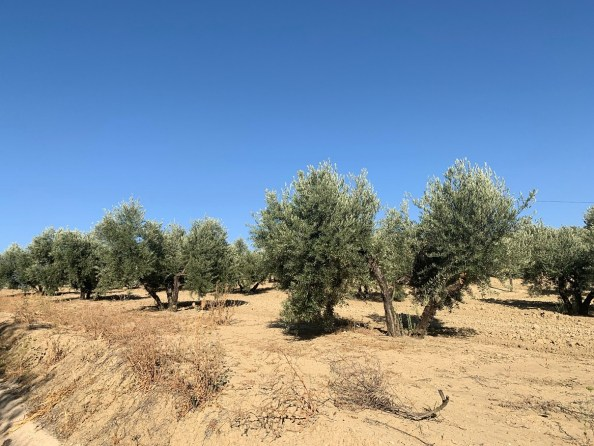 mosca del olivo
