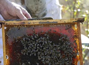 Mala cosecha de miel de primavera en la provincia de Jaén que no llega a una cuarta parte.