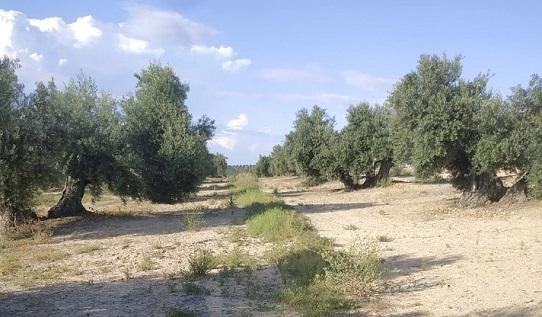 El Ayuntamiento de Lopera se adhiere por segundo año al proyecto CUVrEN para trabajar por la sostenibilidad del olivar.