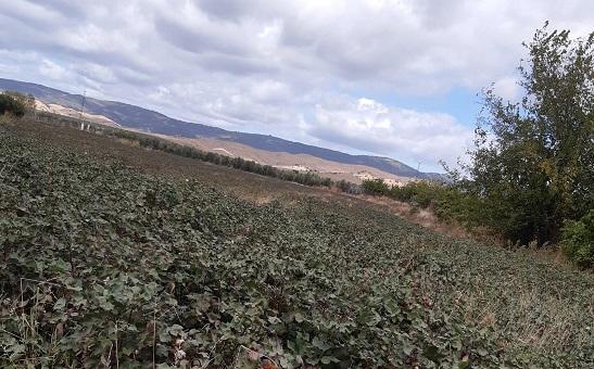 COAG Jaén alerta de una fuerte bajada de los rendimientos del algodón debido a dos plagas.