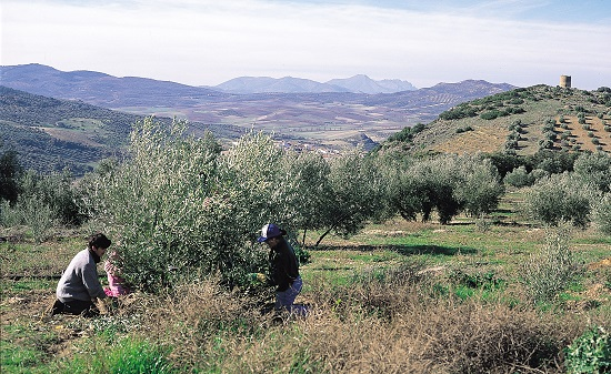 Diputación pide ayudas a la Junta para ejecutar 4 proyectos que hagan más rentable el sector oleícola jiennense.
