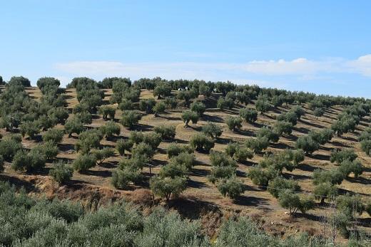 La Consejería de Cultura anuncia la candidatura a Patrimonio Mundial del Paisaje del Olivar andaluz.