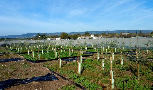 Agricultura obtiene tres nuevas variedades de olivo más resistentes a la verticilosis.