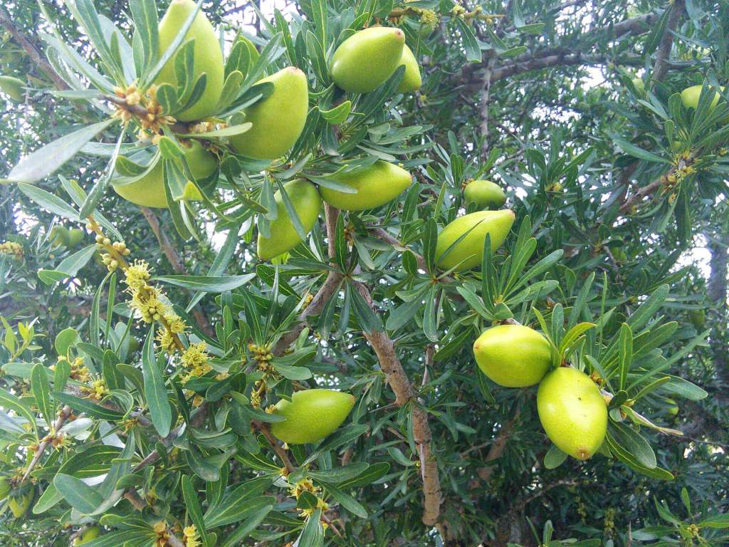Camping Aourir - Argan Tree with fruits, close up