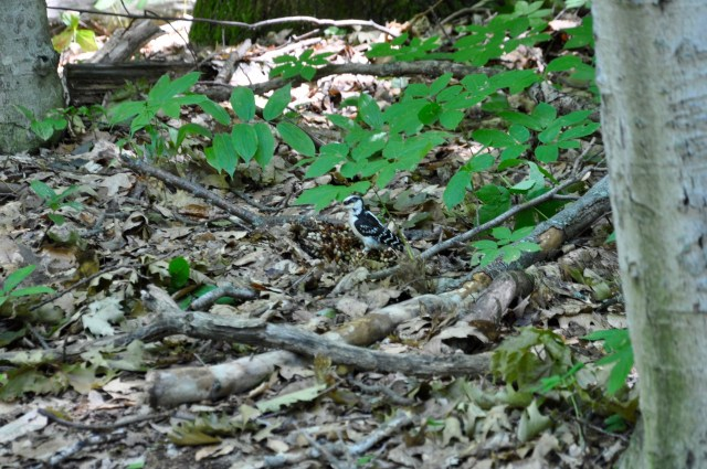 Terrible pic of a Hairy Woodpecker picking through a Cancer Root for goodies