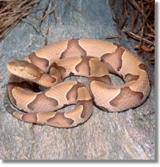copperhead3