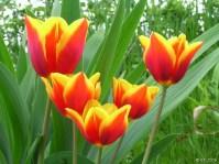 Tulipanes silvestres-Apeninos de Emilia Romagna-Italia
