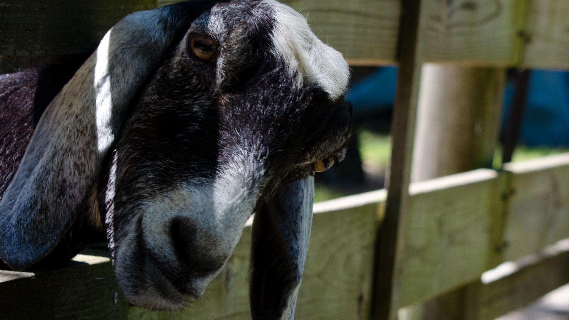Camp Pa-Qua-Tuck goat