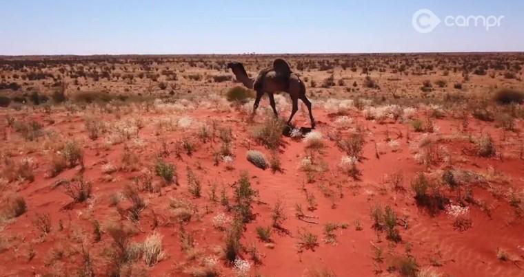 cecil Madigan camels