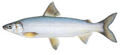 Whitefish - Image Source: DNR