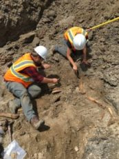 CAP crew members carefully excavating the cow skeleton recovered from the Wilson Road construction.