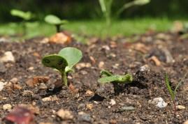 Sunflower seedlings poking up 3 weeks ago