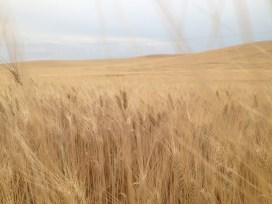 So much wheat