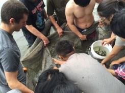 Fig. 4 Transferring the fish from the net to buckets图四 把鱼从网中转移到桶内