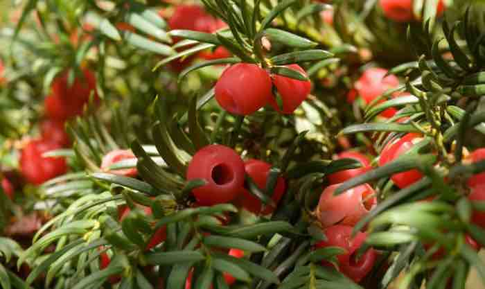 A Yew for You