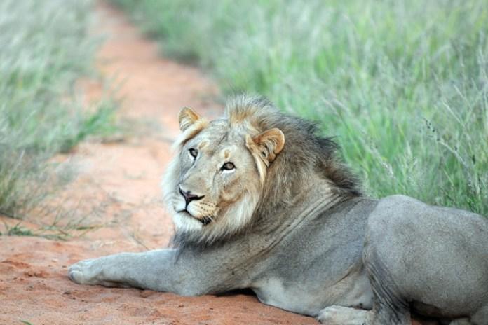day1_erindi_lion.jpg