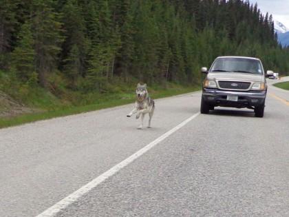 Bartlett kept shooting photos as the wolf followed him down the highway. Photo: Tim Bartlett