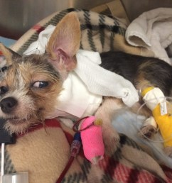 neurology case profile mija the terrier puppy suffers a brain injury after bites to the head from larger dog [ 1024 x 768 Pixel ]
