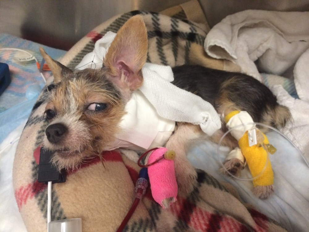 medium resolution of neurology case profile mija the terrier puppy suffers a brain injury after bites to the head from larger dog