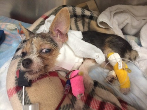small resolution of neurology case profile mija the terrier puppy suffers a brain injury after bites to the head from larger dog