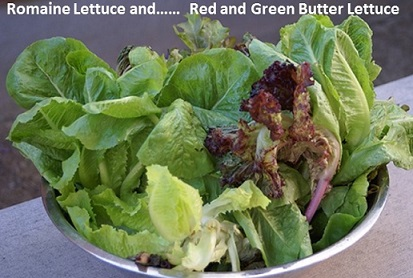 romaine lettuce and butter lettuce from garden