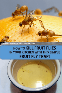 how to kill fruit flies in your kitchen fruit fly trap
