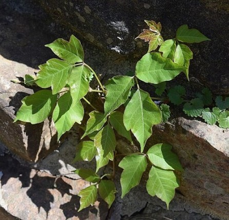 How-To-Identify-A-Poison-Ivy_What-Is-A-Poison-Ivy