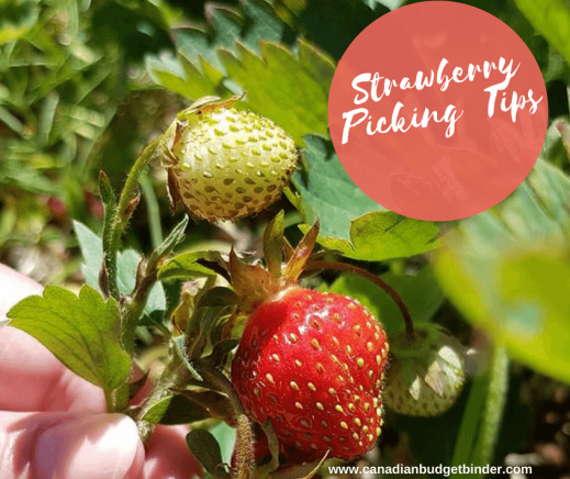 Strawberry Picking Tips-4-1