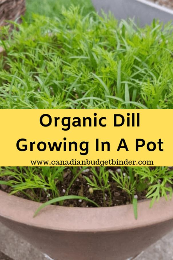 Organic Dill Growing In A Pot
