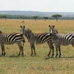 Zebras in the Maasai Mara, Kenya. (Image: Sharon McAuley)