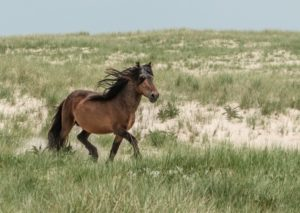 Sable Island wild horse (Image: One Ocean Expeditions)