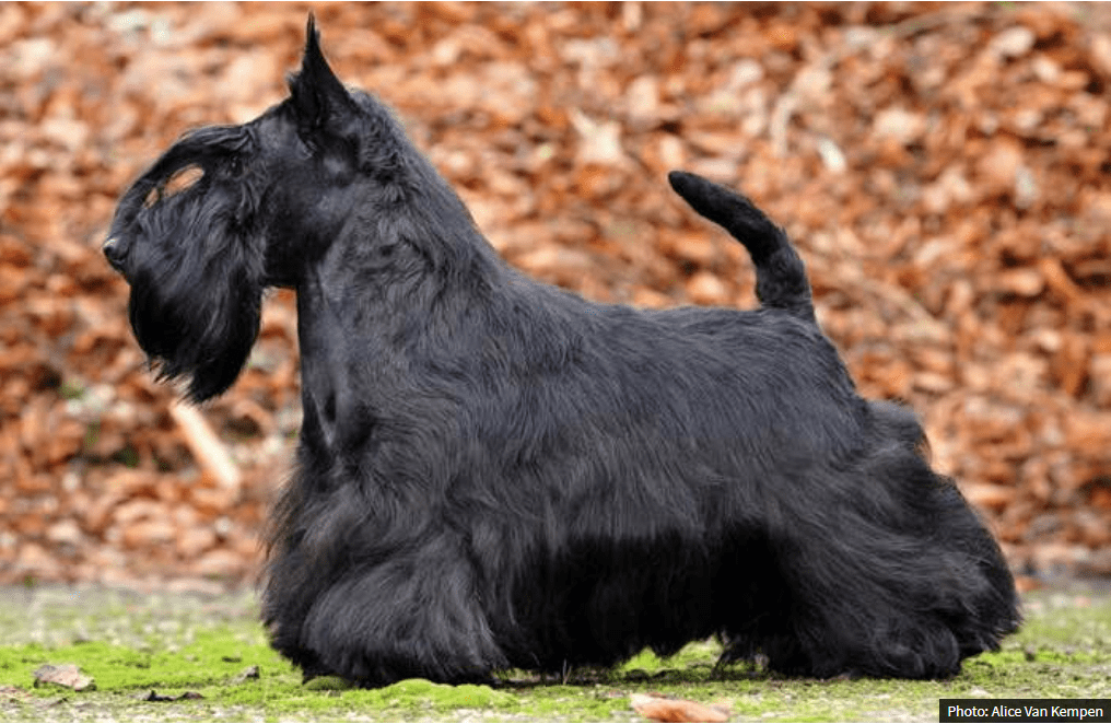 Breed   Canadian Scottish Terrier Club