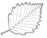 alder outline leaf birch tree outlines aulne gris asia europe origin