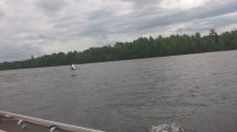 Pelican in flight on the Rainy River