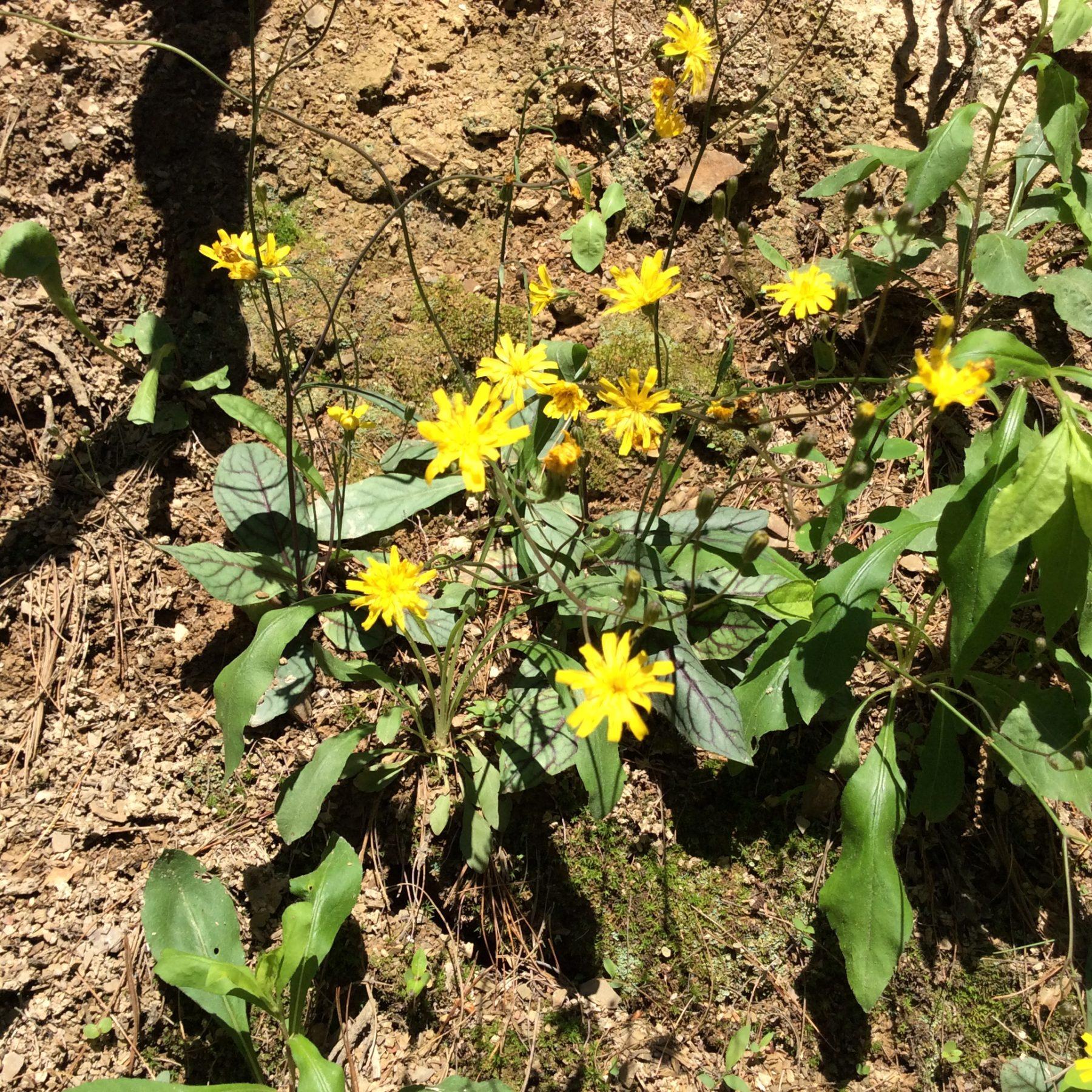 rattlesnake-weed