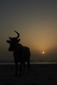 Vache sur plage du Cap 2