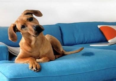 Como ensinar o seu cão a fazer xixi no lugar certo?
