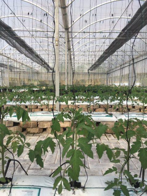 mudas e tomates jovens para o super campo