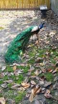 Middleton Stableyards Peacock