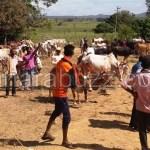 Dodkoppa grama cattle januvaru pradarshana