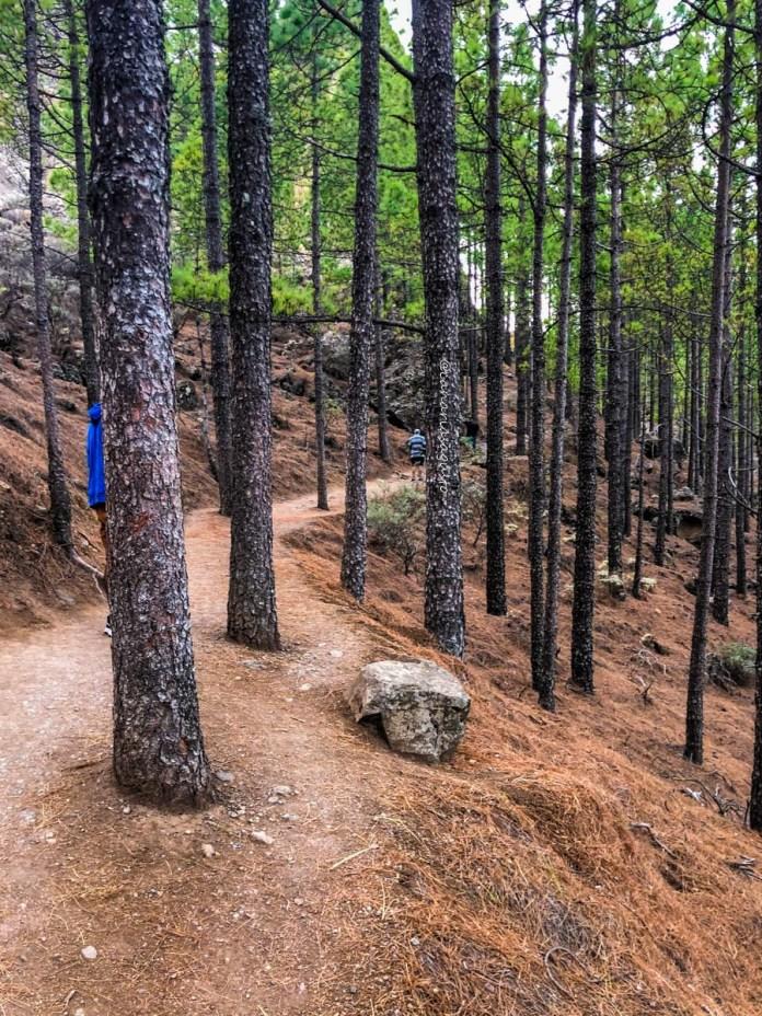 pine trees in roque nublo