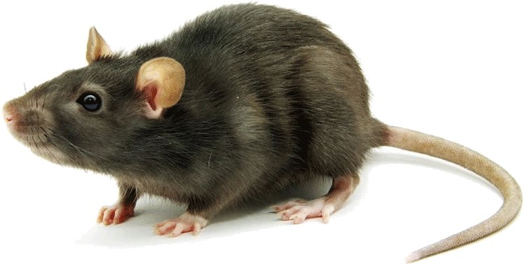 Image result for mice