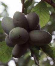 Graviola and Paw Paw ⁄ Cancer ~ Healing with Alternative Methods