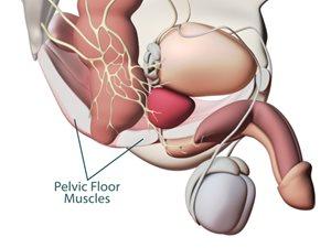 Prostate_Anatomy_00008