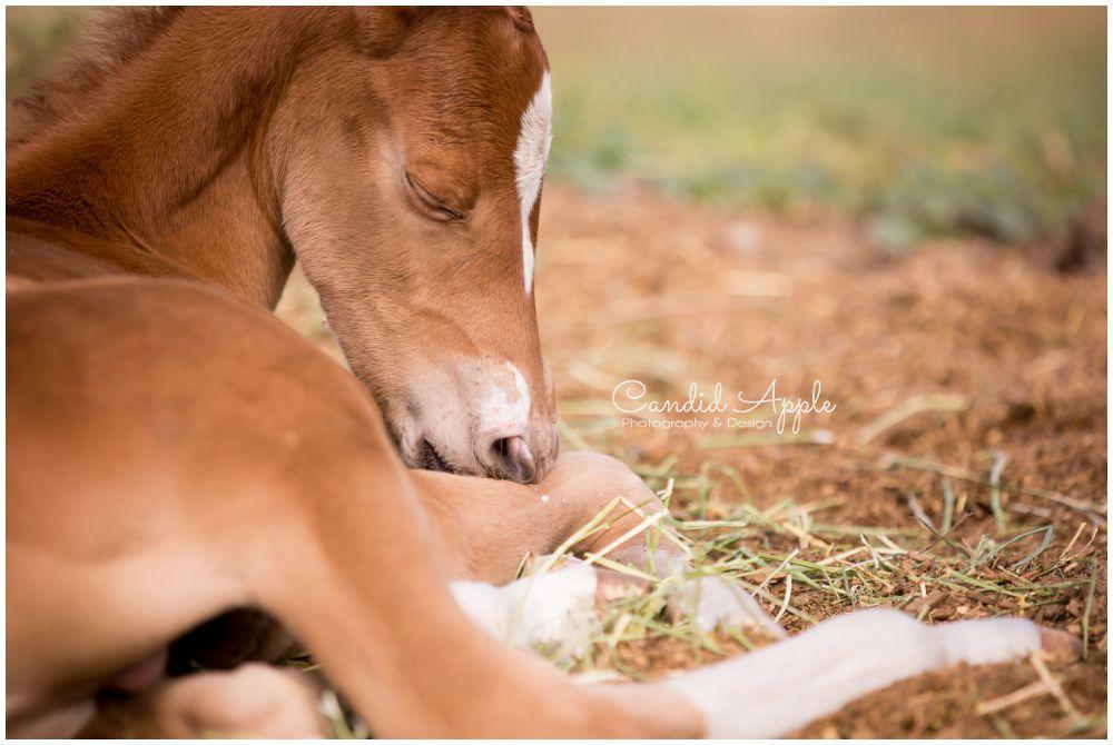 Newborn foal sleeping