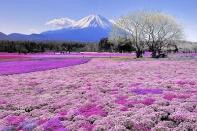 cherry blossoms japan 2